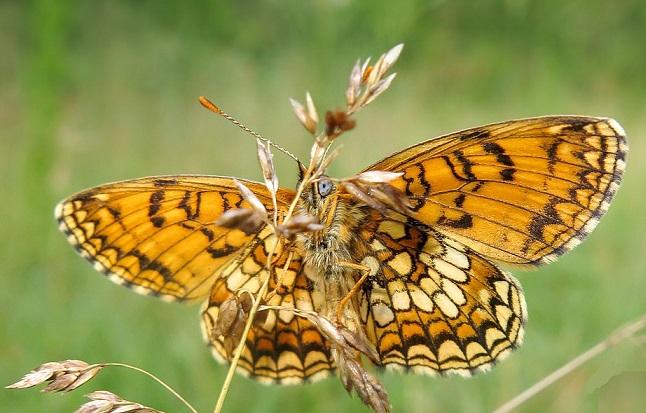 Melitaea-ambigua-Menetries-1859-Shashechnica-ambigva