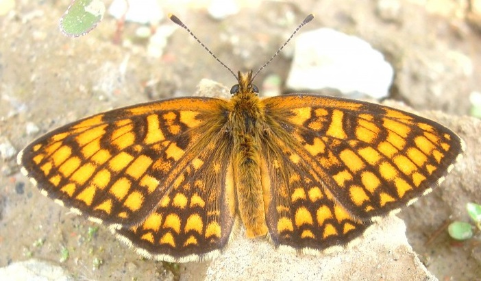 Melitaea-ambigua-Menetries-1859-Shashechnica-ambigva1.jpg