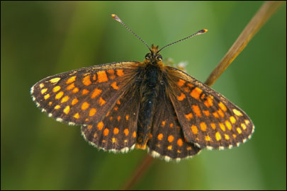 Melitaea-aurelia-Nickerl-1850-Shashechnica-Avreliya