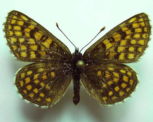 Melitaea-aurelia-Nickerl-1850-Shashechnica-Avreliya1.jpg