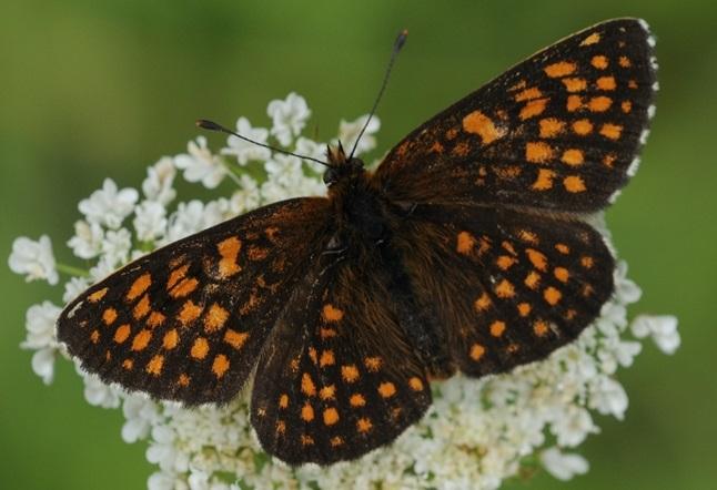 Melitaea-britomartis-Assmann-1847-Shashechnica-britomarta
