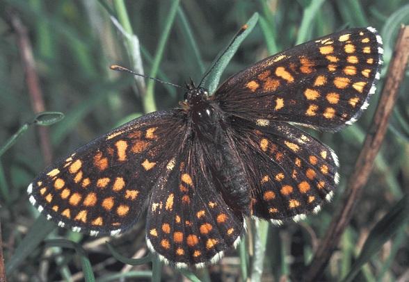 Melitaea-britomartis-Assmann-1847-Shashechnica-britomarta1.jpg