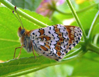 Melitaea-cinxia-Shashechnica-cinksiya.jpg