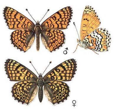 Melitaea-cinxia-Shashechnica-cinksiya2.jpg
