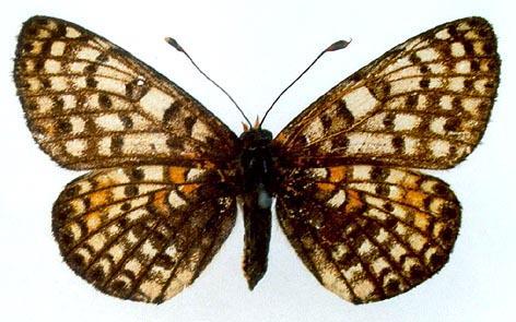 Melitaea-latonigena-Eversmann-1847-Chashechnica-latonigena