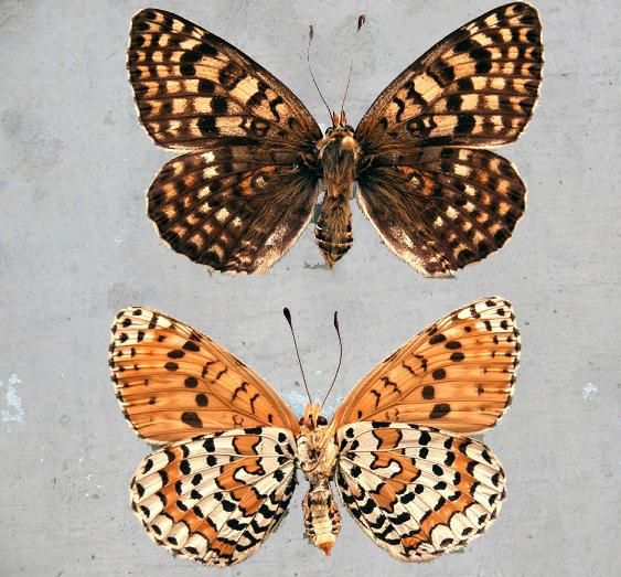 Melitaea-latonigena-Eversmann-1847-Chashechnica-latonigena1.jpg