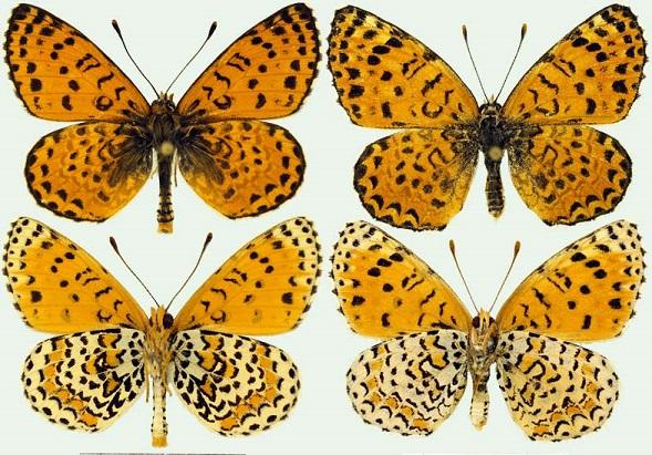 Melitaea-persea-Kollar-1849-Chashechnica-persidskaya