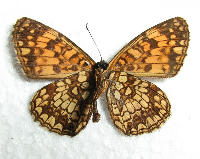 Melitaea-protomedia-Menetries-1858-Chashechnica-amurskaya