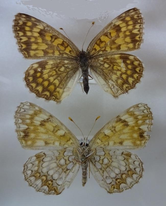 Melitaea-protomedia-Menetries-1858-Chashechnica-amurskaya1.jpg