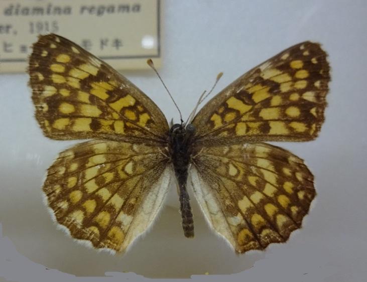 Melitaea-protomedia-Menetries-1858-Chashechnica-amurskaya2.jpg