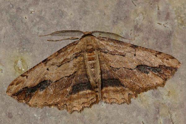 Menophra-abruptaria-Pyadenica-ostrokrylaya1.jpg
