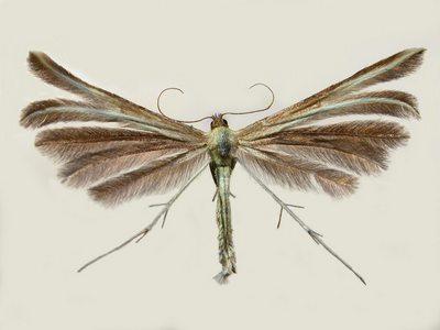 Merrifieldia-leucodactyla.jpg