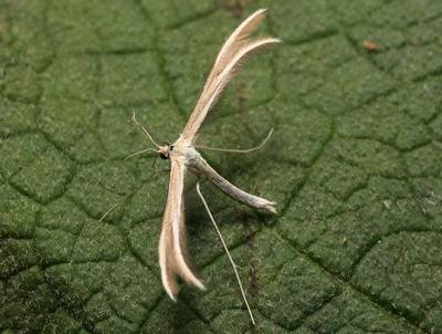Merrifieldia-leucodactyla1.jpg