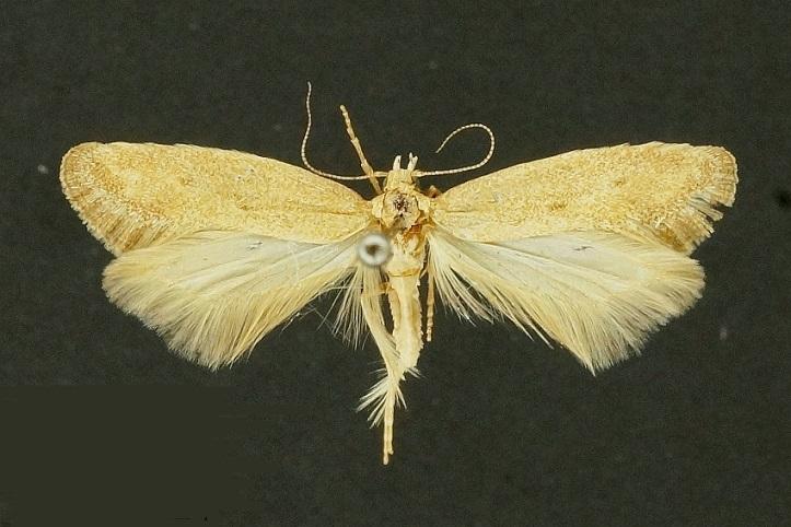 Metanarsia-modesta-Mol-vyemchatokrylaya-skromnaya