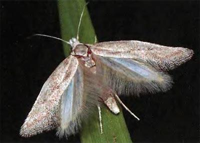 Metanarsia-modesta-Mol-vyemchatokrylaya-skromnaya2.jpg