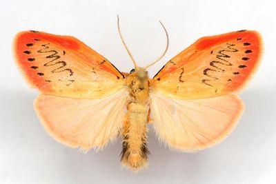 Miltochrista-miniata-Lishainica-rozovaya1.jpg