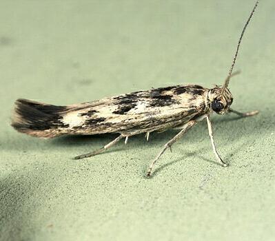 Mol-mrachnaia-lebedovaia-Scythris-limbella
