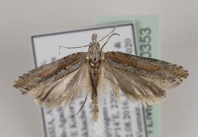 Mol-serpokrylaia-efedrovaia-Ypsolopha-satellitella