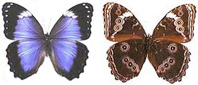 Morpho-achilleana-Morfo-Ahillena1.jpg