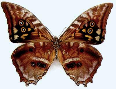 Morpho-amphitrion-Morfo-Amfitrion.jpg