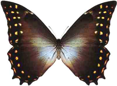 Morpho-amphitrion-Morfo-Amfitrion1.jpg