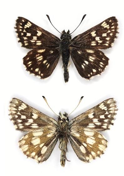 Muschampia-cribrellum-Tolstogolovka-reshetchataya