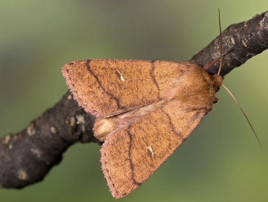 Mythimna-turca-Sovka-polosataia-bakhromchataia