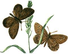 Neolycaena-davidi-Golubyanka-Davida1.jpg