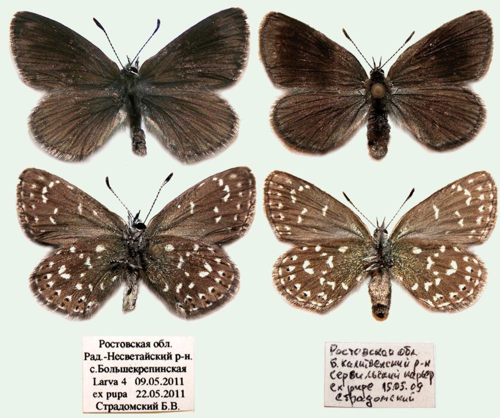 Neolycaena-rhymnus-Golubyanka-rimn1.jpg