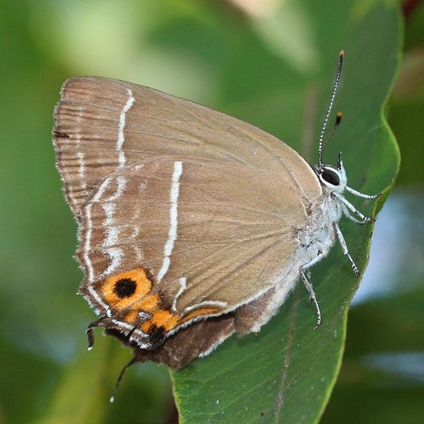 Neozephyrus-japonica-Murray-1875-Zefir-yaponskii-ili-olhovyi