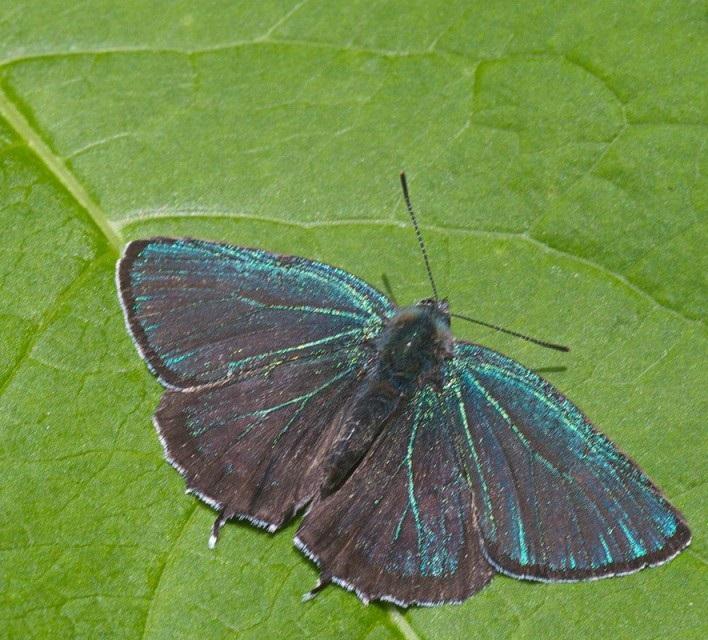 Neozephyrus-smaragdinus-Bremer-1861-Zefir-izumrudnyi1.jpg