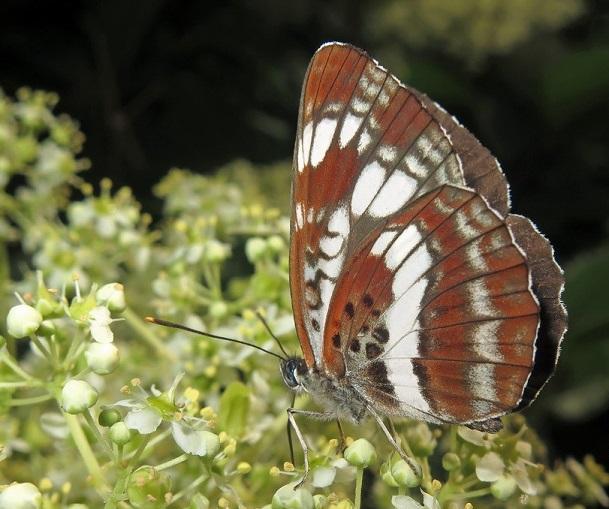 Neptis-andetria-Fruhstorfer-1912-Pestrushka-andetriya