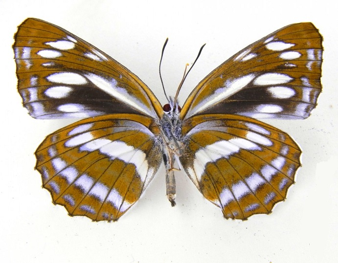 Neptis-philyroides-Staudinger-1887-Pestrushka-leschinaya