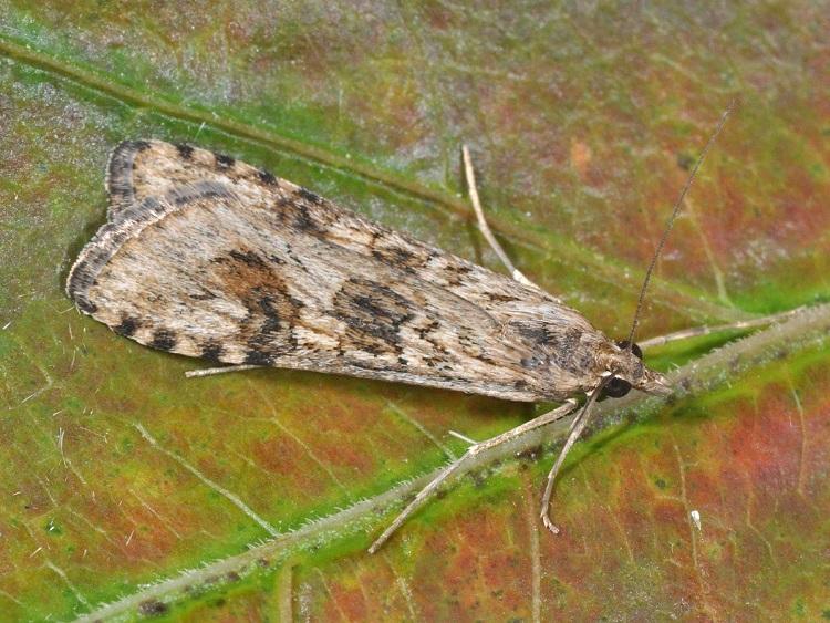 Nomophila-noctuella-Ognevka-lugovaya-sovkovidnaya