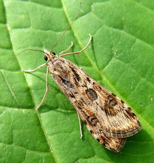 Nomophila-noctuella-Ognevka-lugovaya-sovkovidnaya1.jpg