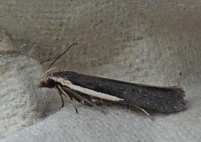 Nothris-lemniscella-Mol-zheltokrainaya