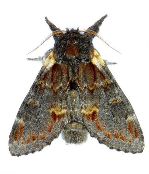 Notodonta_dromedarius.JPG
