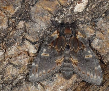 Notodonta_dromedarius1.JPG