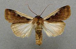 Ochropleura-musiva-Sovka-Zemlyanaya-mozaichnaya