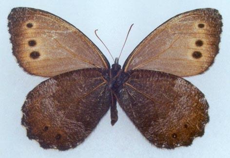 Oeneis-magna-Graeser-1888-Barhatnica-bolshaya1