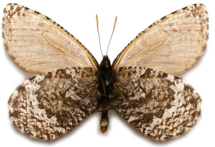 Oeneis-melissa-Fabricius-1775-Barhatnica-Melissa1.jpg