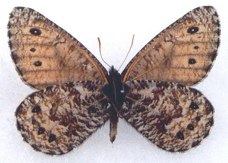 Oeneis-nanna-Menetries-1859-Eneis-nanna