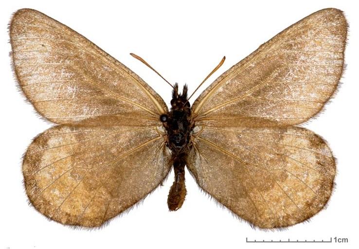 Oeneis-polixenes-Fabricius-1775-Eneis-Poliksena
