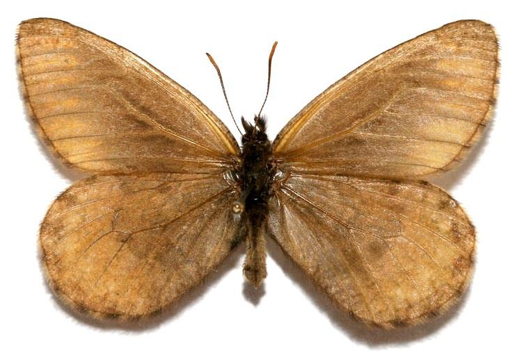 Oeneis-polixenes-Fabricius-1775-Eneis-Poliksena1.jpg