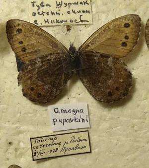 Oeneis-pupavkini-Korshunov-1995-Eneis-Pupavkina1.jpg