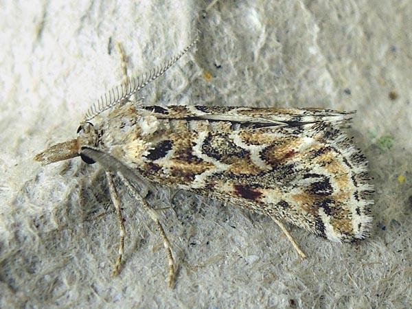 Ognevka-kamforosmovaia-Hypotia-massilialis