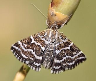 Ognevka-krestotcvetnaia-belopolosaia-Evergestis-alborivulalis