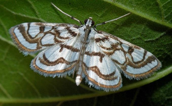 Ognevka-vodnaya-prudovaia-Nymphula-nitidulata