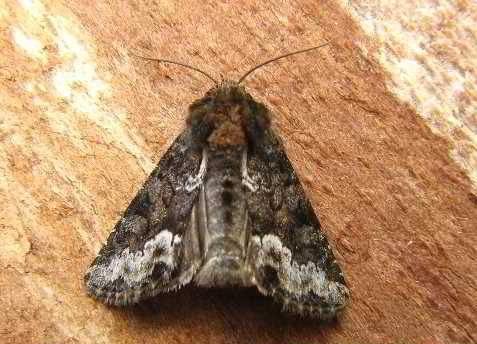 Oligia-strigilis-Sovka-злаковая-svetlo-buraya1.jpg