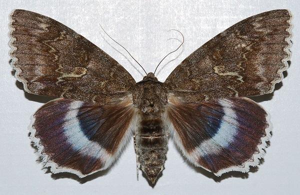 Ordenskaya-lenta-golubaya-Catocala-fraxini